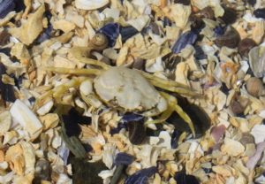 Can green crabs be WHITE?